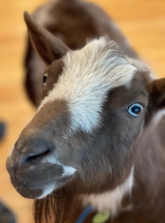 Baby the Goat